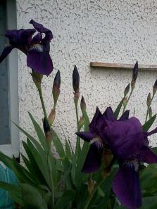 Ecco gli Iris fioriti